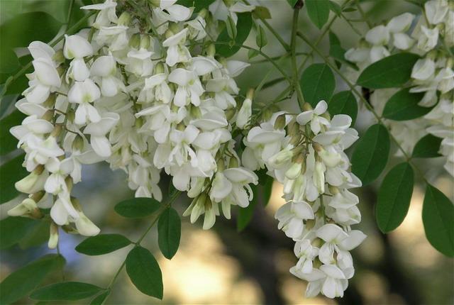 Что символизируют цветущие деревья мая? - фото №1