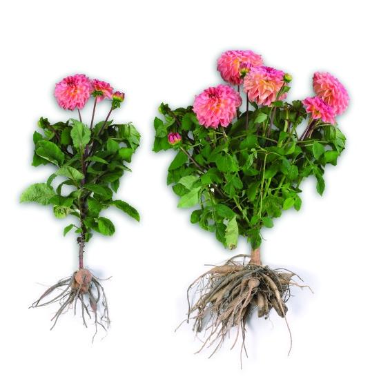 цветы георгины когда выкапывать на зиму
