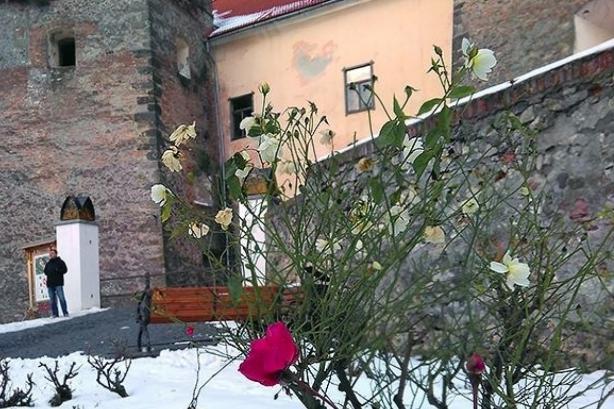 в украине расцвели розы среди зимы