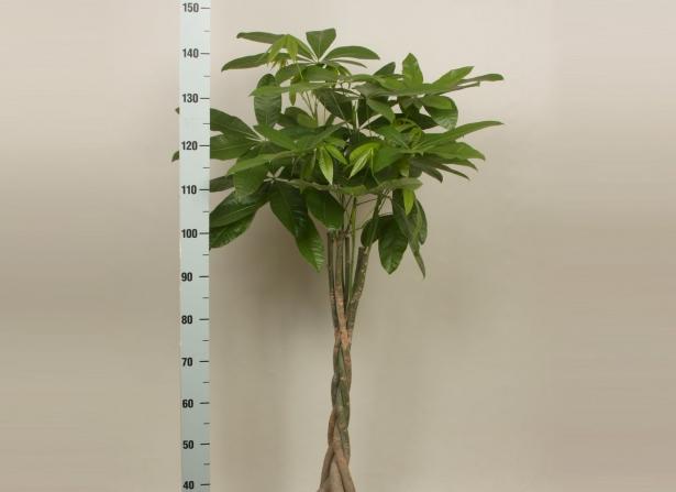 Это к деньгам: какие денежные растения стоит выращивать дома - фото №3