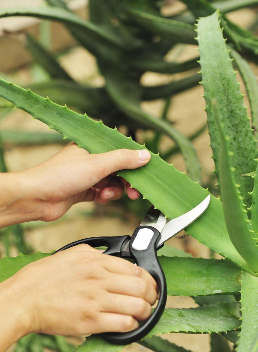 Как использовать алоэ вера: 8 ситуаций, когда это комнатное растение выручит - фото №2