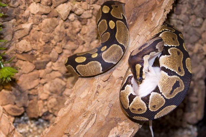 Экзотические животные в доме: рептилии - фото №2