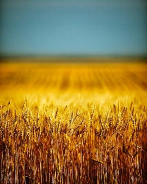 Небо і пшениця  - символи прапора