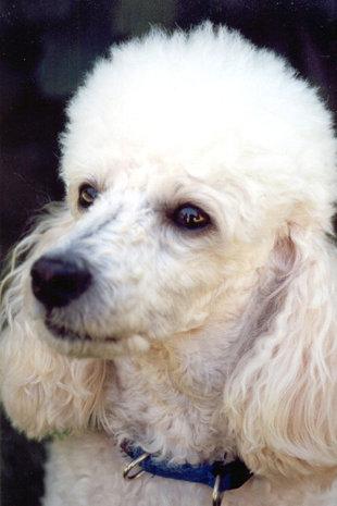 Породы собак, шерсть которых не вызывает аллергию - фото №3