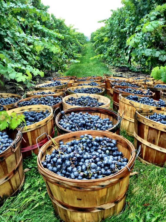 Все, что мы должны знать про виноград: чем полезен и кому противопоказан - фото №1