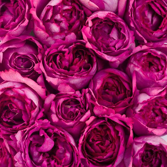 Дом Piaget празднует первый «День розы Пьяже» - фото №1