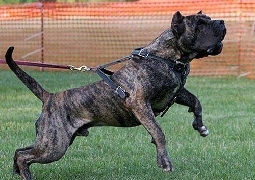 Топ 5 самых опасных пород собак - фото №5