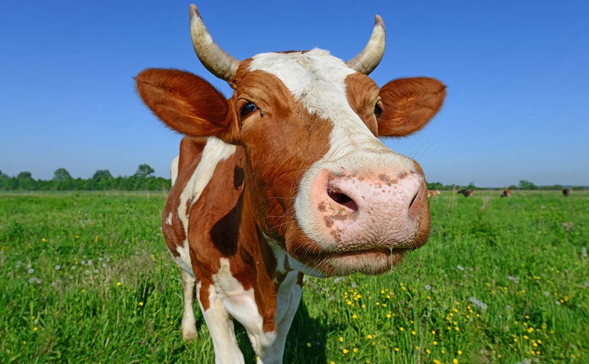 Крем для вымени коров