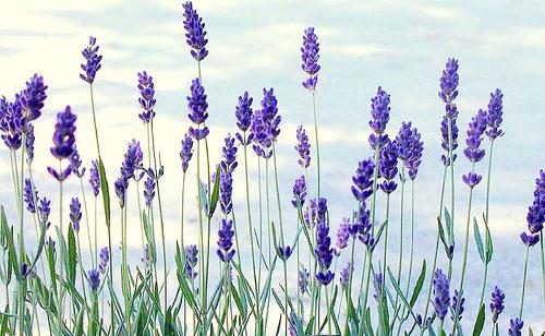 Главные цветы в парфюмерной индустрии - фото №2