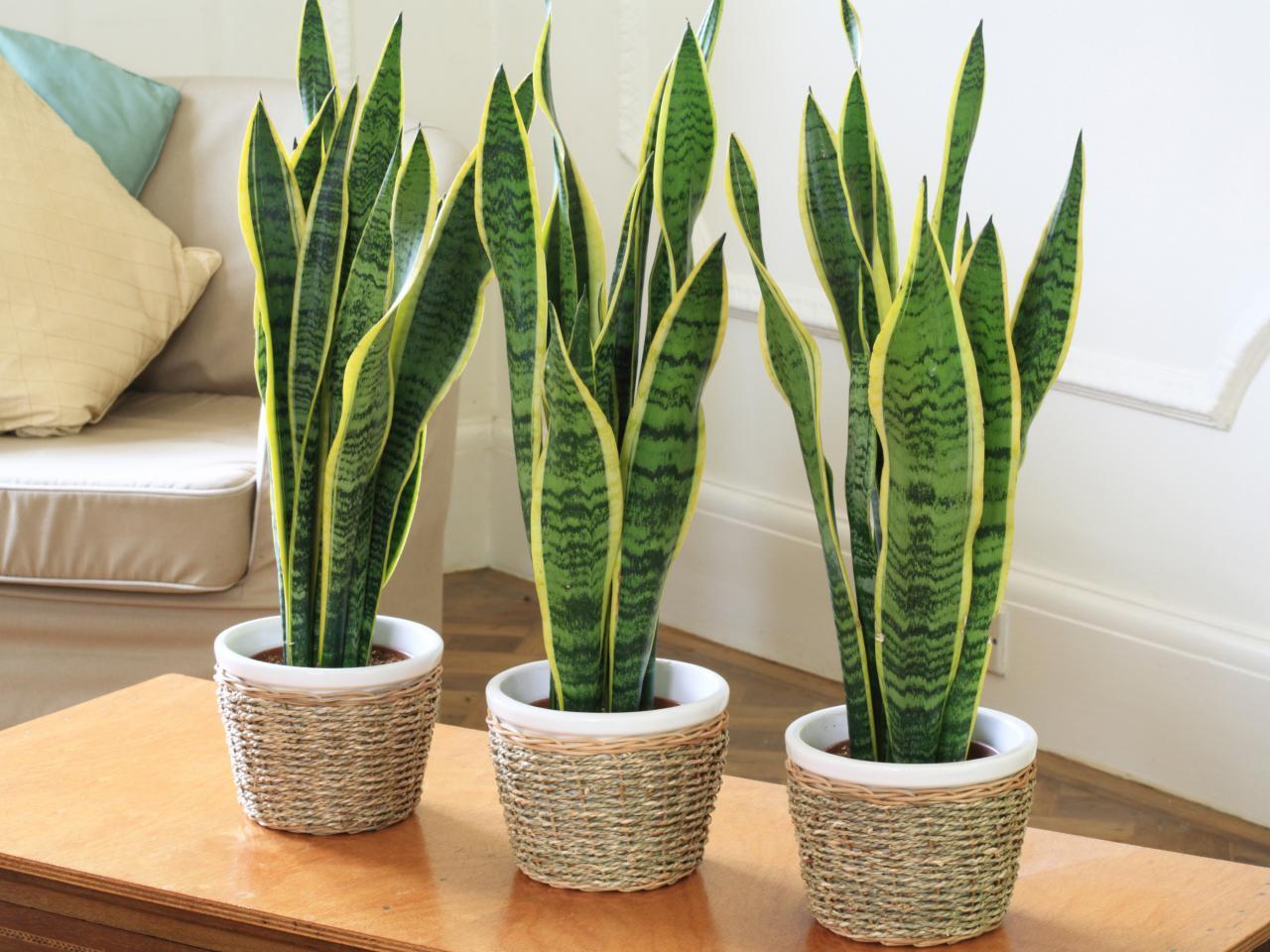 Дышать станет легче: кислородные растения, которые должны быть в доме - фото №5