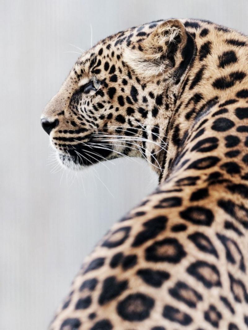 цирк без животных  дикая природа леопард