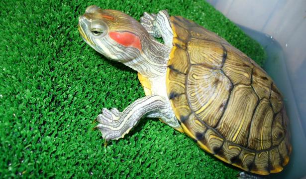 Экзотические животные в доме: рептилии - фото №1