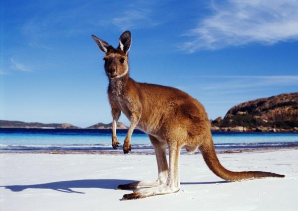 австралия кенгуру фото