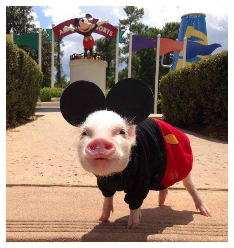 скотоводство свинья