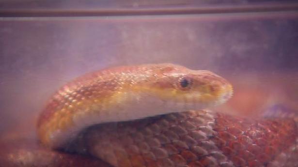 скандал на мастер шеф змея