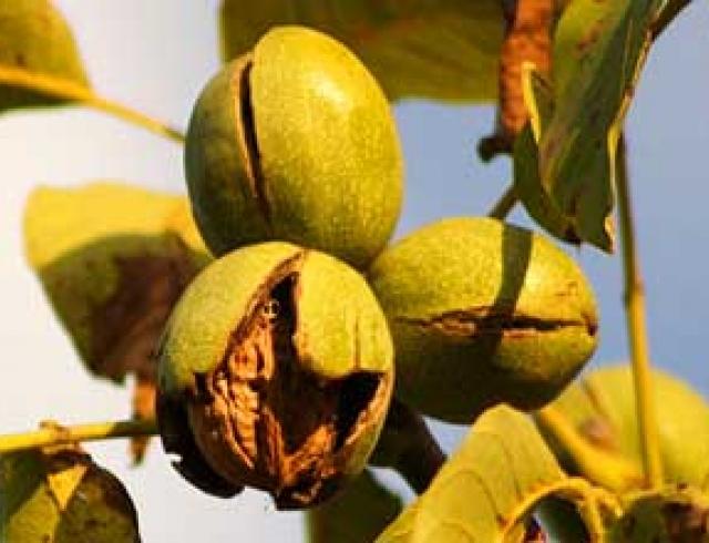 Ликер с зелеными грецкими орехами