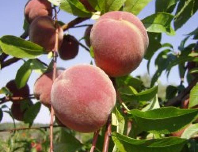 Приготовление персикового сока
