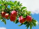 Яблочный спас: традиции праздника