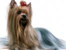 Гигиеническая стрижка собак: стричь или не стричь?