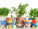 Как вырастить зелень на подоконнике?