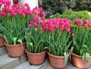 Когда сажать тюльпаны осенью в 2017 году: рекомендованные условия и способы посадки
