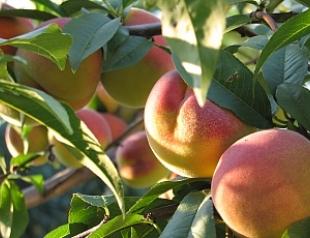 Персик поможет справиться с жиром