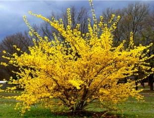 Весна на даче: как правильно размножать форзицию?