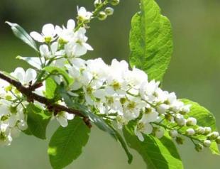 Что символизируют цветущие деревья мая?