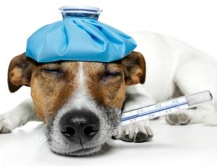 Как укрепить иммунитет домашнего питомца