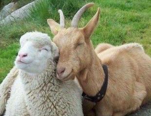 Как соблазнить женщину-Овцу и мужчину-Козу