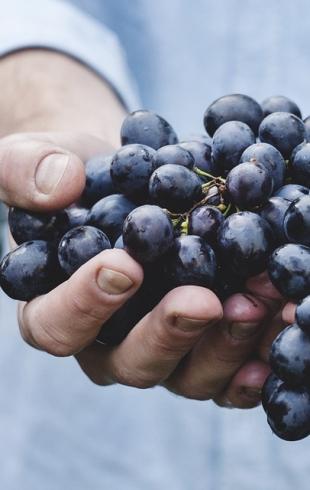 Актуально в сезон: кому нельзя есть виноград