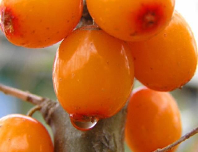 Облепиха: готовим из оранжевой ягоды