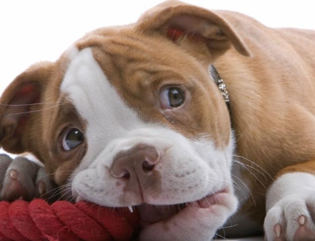 Топ 5 безопасных игрушек для щенков