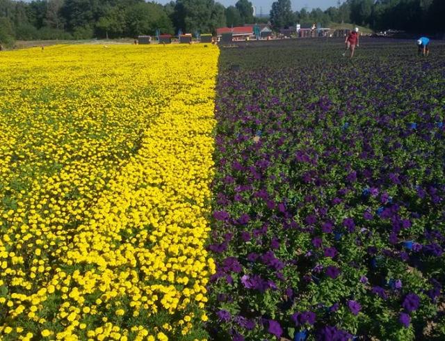 День флага Украины 2016: цветочный флаг Украины войдет в книгу рекордов Гиннеса (ОБНОВЛЯЕТСЯ)