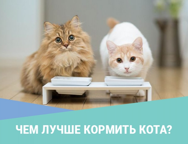 Чем лучше кормить кота?